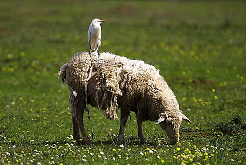 Cattle Egret (Bubulcus ibis, Ardeola ibis) riding on back of a grazing sheep, Extremadura, Spain, Europe