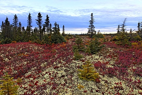 Boreal forest along St Lawrence river, Black Spruce (Picea mariana) and Northern Highbush Blueberry (Vaccinium corymbosum), Duplessis district, Quebec, Canada