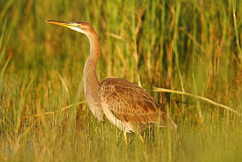 Purple Heron (Ardea purpurea), young bird in the reed, Neusiedel, Neusiedlersee, Burgenland, Austria, Europe