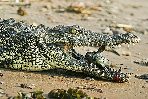Nile crocodile (Crocodylus niloticus) with a captured catfish, Chobe River, Chobe National Park, Botswana, Africa