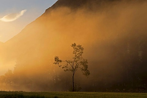 Lone tree in morning fog near Stryn, Storesunde, Sogn og Fjordane, Norway, Europe