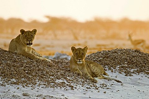 Lion cups (Panthera leo) lying on a small hill are watching for animals in the Nxai Pan, Makgadikgadi Pans National Park, Botswana, Africa