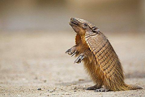Amadillo (Dasypodidae), peninsula Valdes, Patagonia, east coast, Atlantic Ozean, Argentina, South America