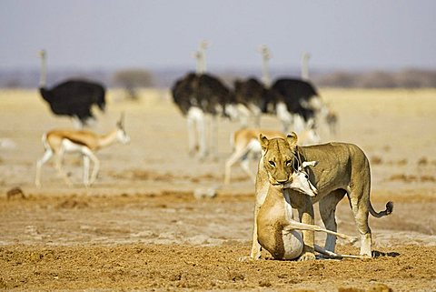 Lion, Lioness (Panthera leo) with a killed springbok, (Antidorcas marsupialis), Nxai Pan, Makgadikgadi Pan National Park, Botswana, Africa