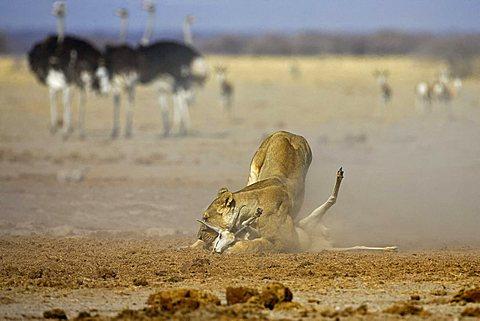 Lion, Lioness (Panthera leo) kills a springbok, (Antidorcas marsupialis), Nxai Pan, Makgadikgadi Pan National Park, Botswana, Africa