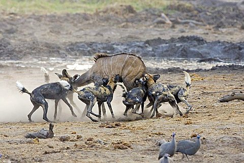 African wilddogs - Lycaon pictus - are hunting a carless young kudu. Africa, Botswana, Linyanti, Chobe National Park, wildlife