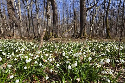 Spring snowflakes (Leucojum vernum), in a deciduous forest in spring, Upper Bavaria, Germany, Europe