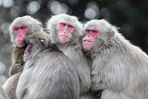 Japanese macaques, snow monkeys (Macaca fuscata) - 832-429