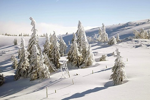 Icy Spruce (Picea) on the summit of Feldberg Mountain in the Black Forest, Baden-Wuerttemberg, Germany, Europe