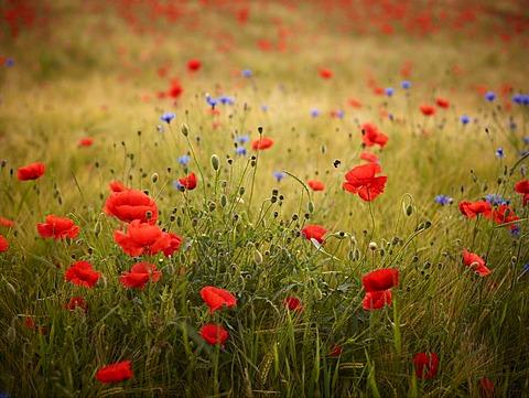 Field of Poppies (Papaver rhoeas), Friedberg, Bavaria, Germany, Europe