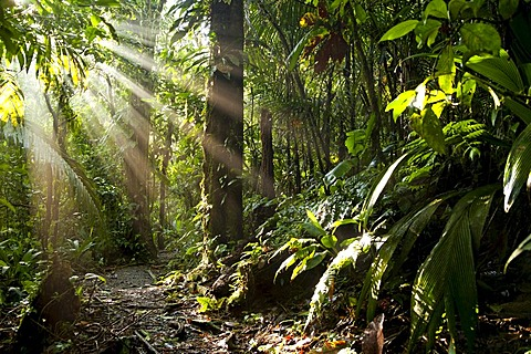 Sun rays in the dense jungle of the Braulio Carrillo National Park, Costa Rica, Central America