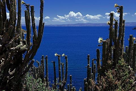 Cactuses (Cactaceae), Lake Titicaca, Copacabana, Bolivia, South America