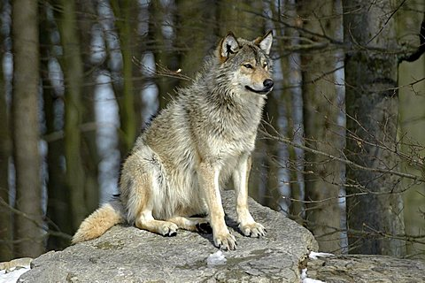 Mackenzie Valley, Canadian - or Alaskan Timber Wolf (Canis lupus occidentalis) at a zoo in Germany, Europe