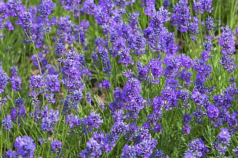 Lavender flowers (Lavandula) in a garden, England, United Kingdom, Europe