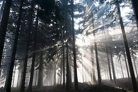 Sun rays penetrating the morning mist in a forest, Mt Feldberg in the Taunus range, Hesse, Germany, Europe