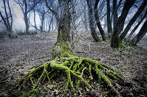 Tree roots and fog on the banks of Elbe river in Kirchwerder, Vier- und Marschlande, Hamburg, Germany, Europe
