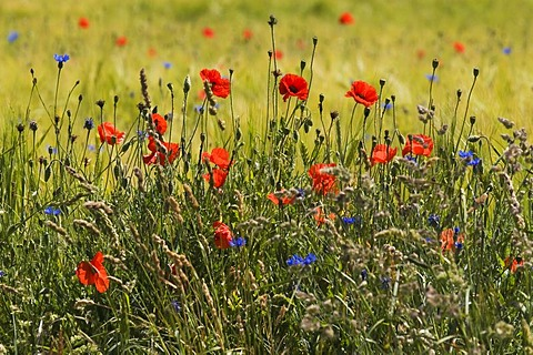 Natural edge of a field with flowering grasses and wild flowers, Poppies (Papaver rhoeas), Cornflower (Centaurea cyanus)