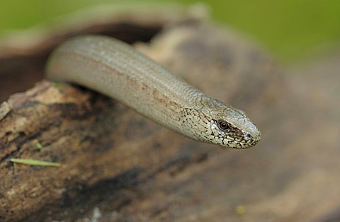 Slow-worm (Anguis fragilis), Danube-Auen National Park, Lower Austria, Austria, Europe