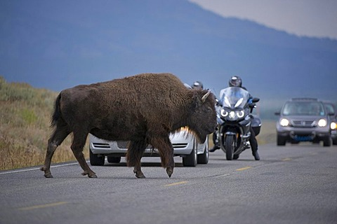 Bison (Bison bison) crossing road, Yellowstone National Park, Wyoming, USA