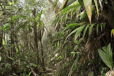 Rich ground vegetation of the cloud forests on Table Mountain, Roraima, Brazil's highest mountain, tri-border region Brazil, Venezuela, Guyana on the high plateau, South America