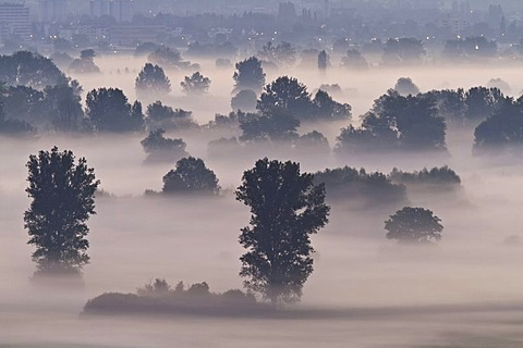 Aachried bei Radolfzell, a reedy marsh, in the morning mist, Hegau region, Konstanz district, Constance district, Baden-Wuerttemberg, Germany, Europe