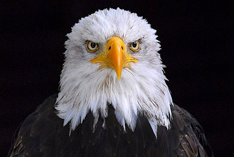 Bald Eagle (Haliaeetus leucocephalus, at Hellenthal Zoo, Hellenthal, North Rhine-Westphalia, Germany, Europe - 832-543