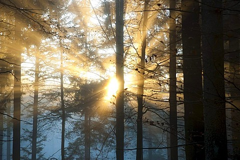 Evening sun in a forest in autumn, Black Forest, Baden-Wuerttemberg, Germany, Europe