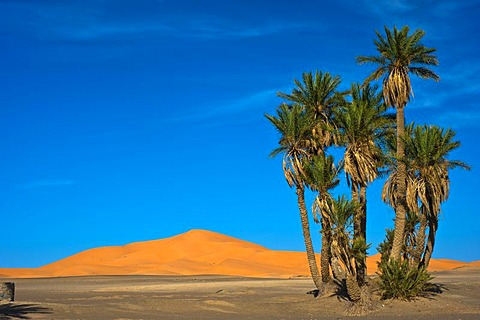 Date palms (Phoenix) in front of the sand dunes of Erg Chebbi, Sahara, southern Morocco, Africa