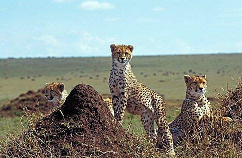 Cheetah (acinonyx jubatus), Masai Mara, Kenya, Africa,