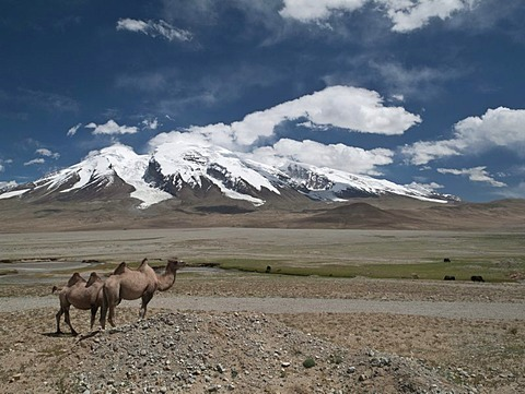 "Bactrian camels (Camelus bactrianus), in front of Muztag Ata, 7546m, ""Father of Ice Mountains"", one of the highest peaks in Pamir, Kashgar, Xinjiang, China, Asia"