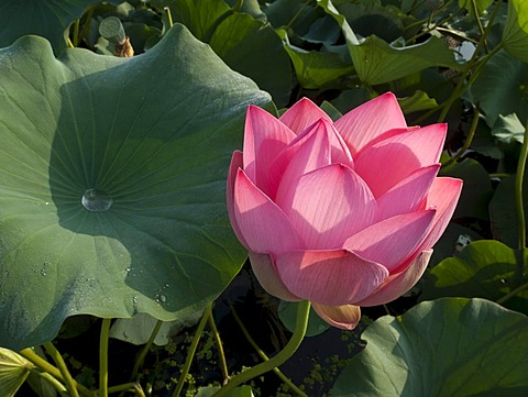 Lotus flower (Nelumbo nucifera), Srinagar, Jammu and Kashmir, India, Asia