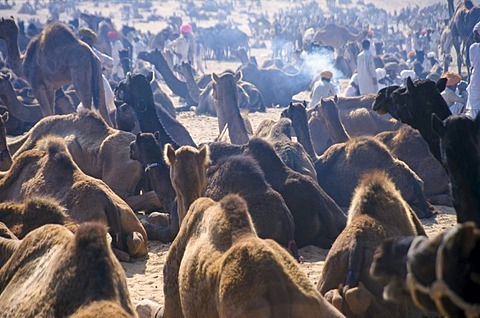 Pushkar Camel Fair, one of the largest camel markets in Asia, Rajasthan, India, Asia - 832-62040