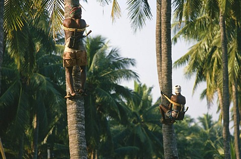 Man picking coconuts, Kalipatanam, Andhra Pradesh, India, Asia - 832-62077