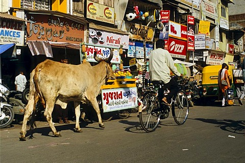 Holy cow on the streets of Ahmedabad, Gujarat, India, Asia
