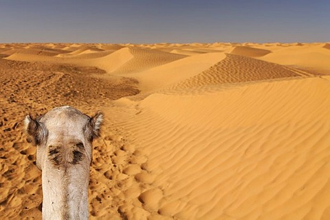 Head of a dromedary (Camelus dromedarius) in the Sahara near Ksar Ghilane, Tunisia, Maghreb region, North Africa, Africa