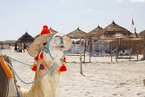 Dromedary (Camelus dromedarius) wearing a hat, on Sidi Mahres beach on the island of Djerba, Tunisia, Maghreb, North Africa, Africa