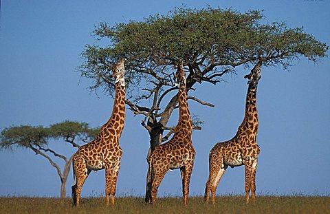 giraffes (giraffe camelopardis), Masai Mara, Kenya, Africa - 832-6270