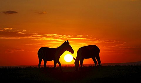 Zebras (Equus quagga) in the sunset
