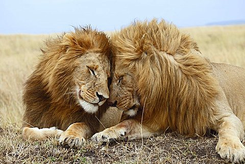 Lions (Panthera leo), affection - 832-6434