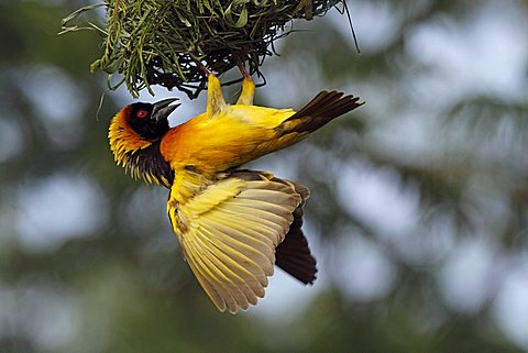 Weaver bird (Ploceidae) in the Masai Mara, Kenya, Africa - 832-6454