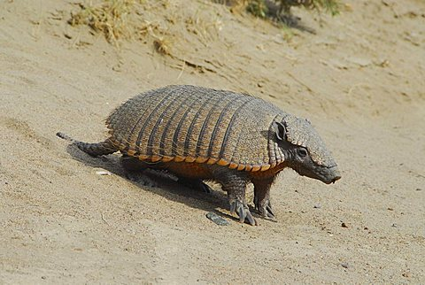 Armadillo (piche) near Punta Norte, Península Valdés, Chubut province, Patagonia, Argentina