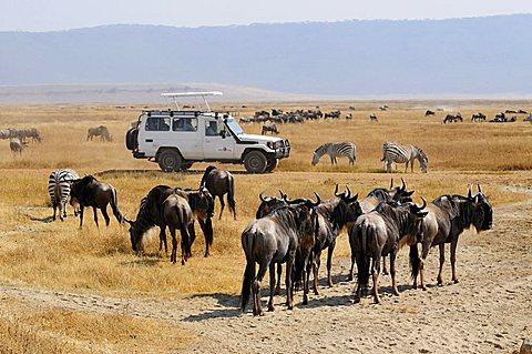 Blue Wildebeest (Connochaetes taurinus), Ngorongoro-crater, Ngorongoro Conservation Area, Tanzania, Africa - 832-6558