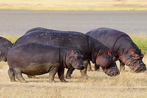 Hippopotamus (Hippopotamus amphibius), Ngorongoro crater, Ngorongoro Conservation Area, Tanzania, Africa