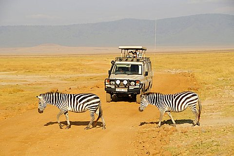 Zebras in front of a jeep with safari tourists, Ngorongoro Crater, Tanzania, Africa - 832-6629