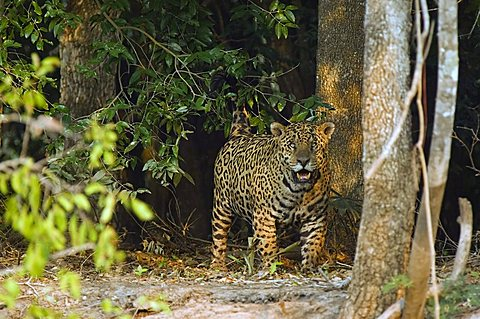 Jaguar (Panthera onca) coming out of the forest, Pantanal, Brazil