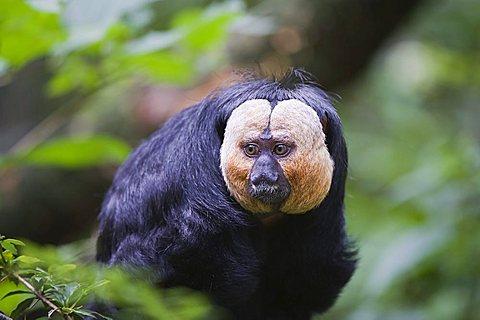 White-faced Saki also known as the Guianan Saki or Golden-faced Saki (Pithecia pithecia)