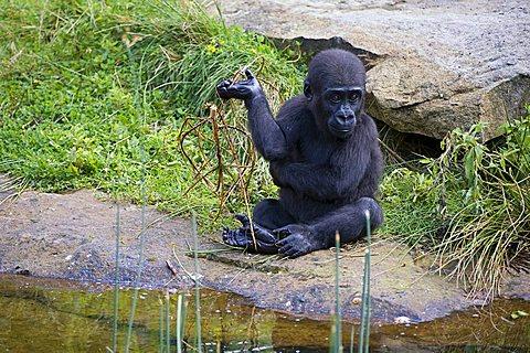 Young Western Lowland Gorilla (Gorilla gorilla gorilla), Critically endangered, IUCN 2009