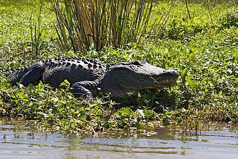 Alligator (Alligatoridae) in the swamps in the Mississippi-Delta near Houma, Louisiana, USA