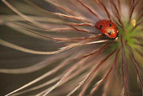 Ladybird - Coccinellidae