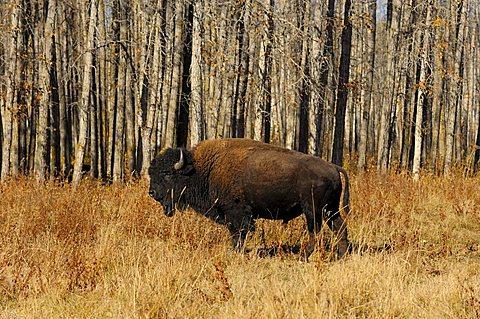 Plains Bison (Bison bison bison), Elk Island National Park, Alberta, Canada